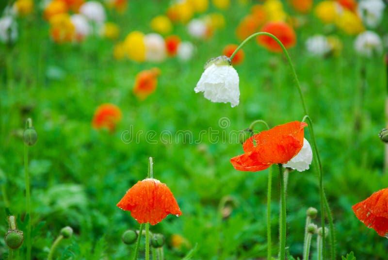 Όμορφα ανθίζοντας λουλούδια παπαρουνών καλαμποκιού στοκ εικόνα με δικαίωμα ελεύθερης χρήσης