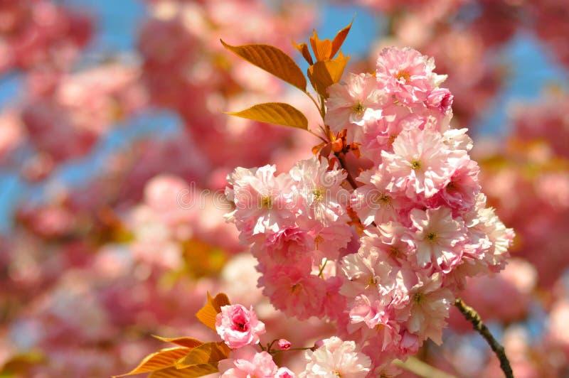 Όμορφα ανθίζοντας ρόδινα λουλούδια του sakura, ιαπωνικό κεράσι την άνοιξη στοκ φωτογραφία με δικαίωμα ελεύθερης χρήσης