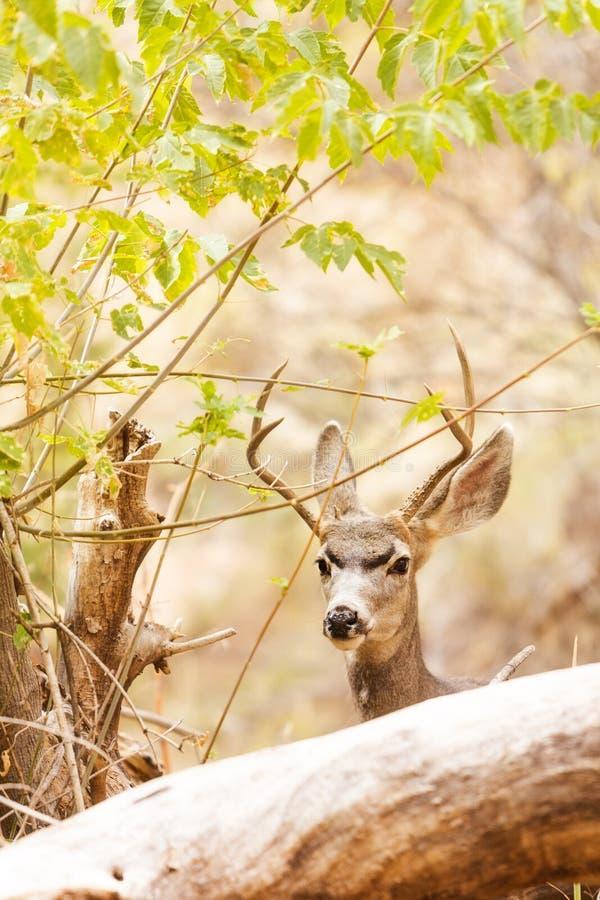 Όμορφα αρσενικά ελάφια μουλαριών στα ξύλα στοκ φωτογραφίες
