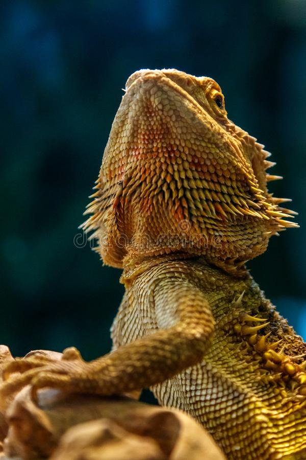 Όμορφα γενειοφόρα άγαμα σαυρών, Pogona vitticeps στοκ εικόνες