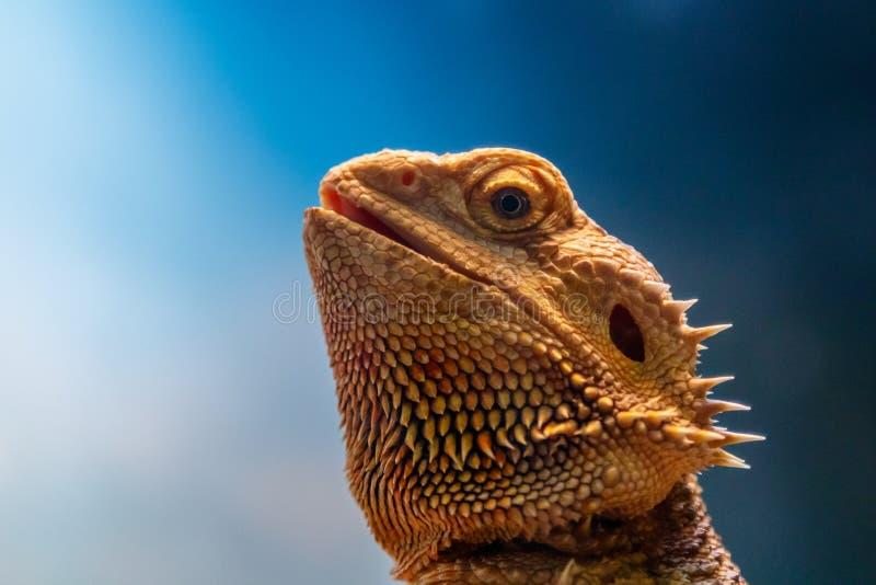 Όμορφα γενειοφόρα άγαμα σαυρών, Pogona vitticeps στοκ εικόνα με δικαίωμα ελεύθερης χρήσης