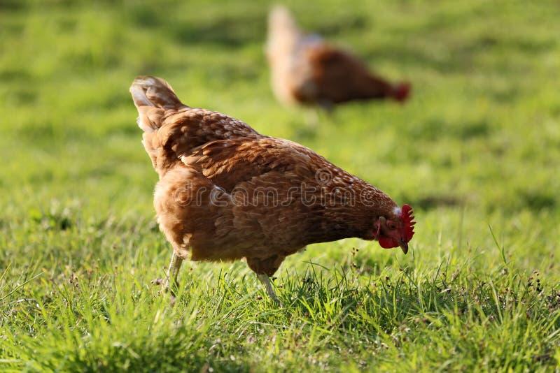 Όμορφα εγχώρια κοτόπουλα με το συμπαθητικό φτέρωμα στοκ φωτογραφίες με δικαίωμα ελεύθερης χρήσης