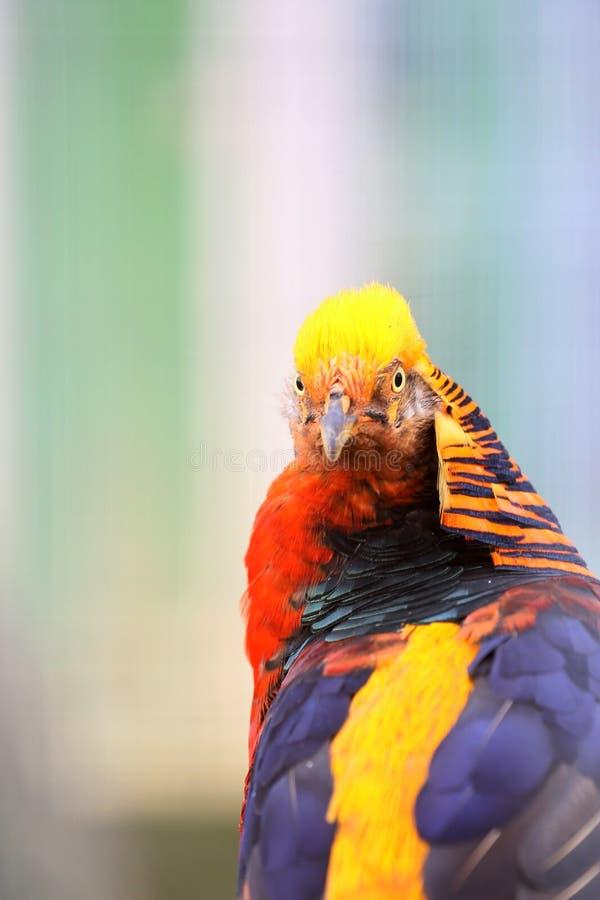 Όμορφα εγχώρια κοτόπουλα με το συμπαθητικό φτέρωμα στοκ εικόνα