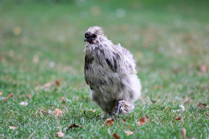 Όμορφα εγχώρια κοτόπουλα με το συμπαθητικό φτέρωμα στοκ εικόνα με δικαίωμα ελεύθερης χρήσης