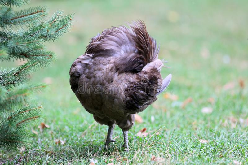 Όμορφα εγχώρια κοτόπουλα με το συμπαθητικό φτέρωμα στοκ εικόνες με δικαίωμα ελεύθερης χρήσης
