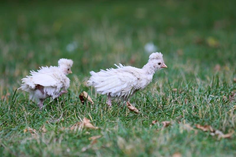Όμορφα εγχώρια κοτόπουλα με το συμπαθητικό φτέρωμα στοκ φωτογραφία