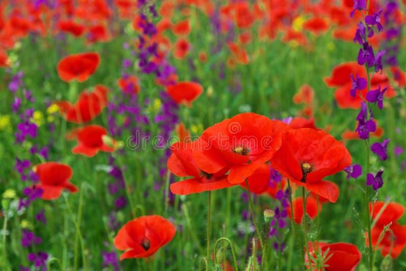 Όμορφα ζωηρόχρωμα λουλούδια, παπαρούνες στοκ εικόνες