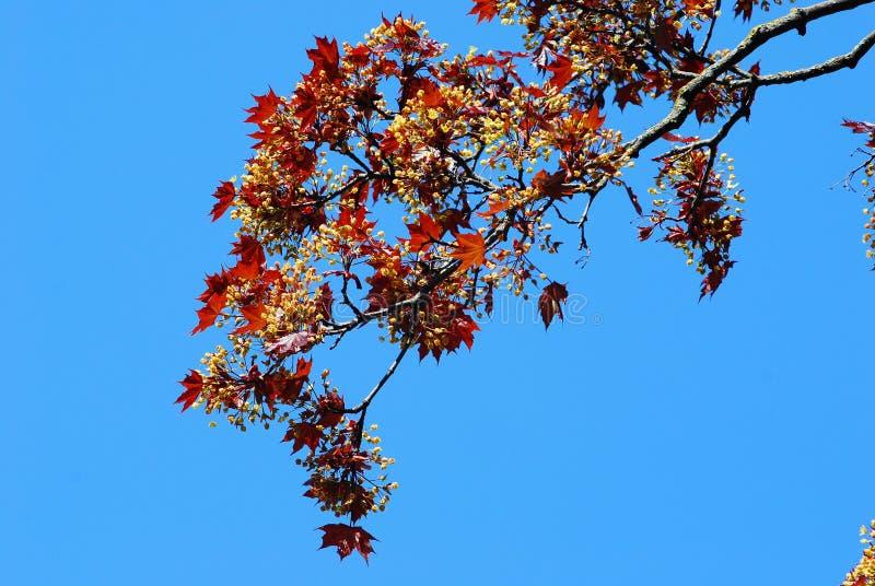 Όμορφα ζωηρόχρωμα φύλλα σφενδάμου άνοιξη στοκ φωτογραφία με δικαίωμα ελεύθερης χρήσης