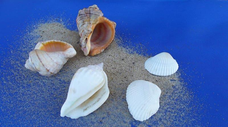 όμορφα θαλασσινά κοχύλια στοκ εικόνα με δικαίωμα ελεύθερης χρήσης