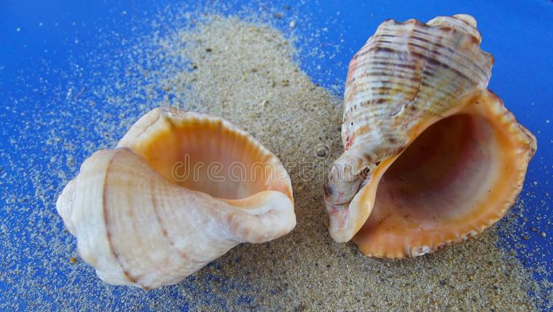 όμορφα θαλασσινά κοχύλια στοκ εικόνα