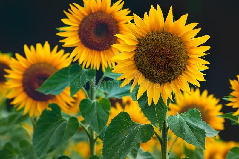 Όμορφα κίτρινα ανθίζοντας λουλούδια Suflowers στην άνθιση στοκ φωτογραφίες