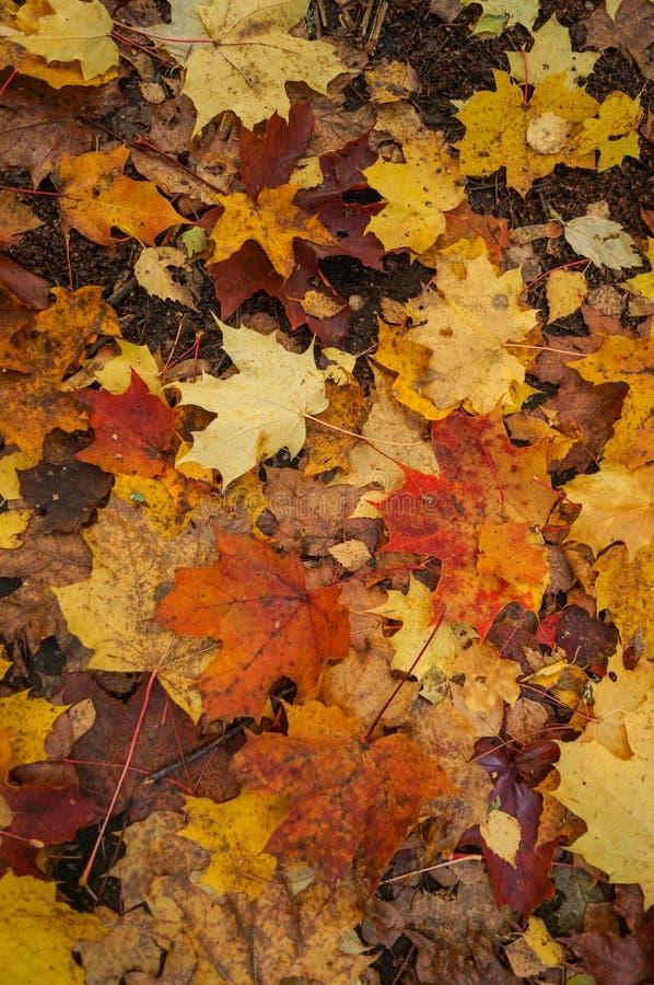 Όμορφα κίτρινα κόκκινα και πορτοκαλιά φύλλα φθινοπώρου στοκ εικόνες