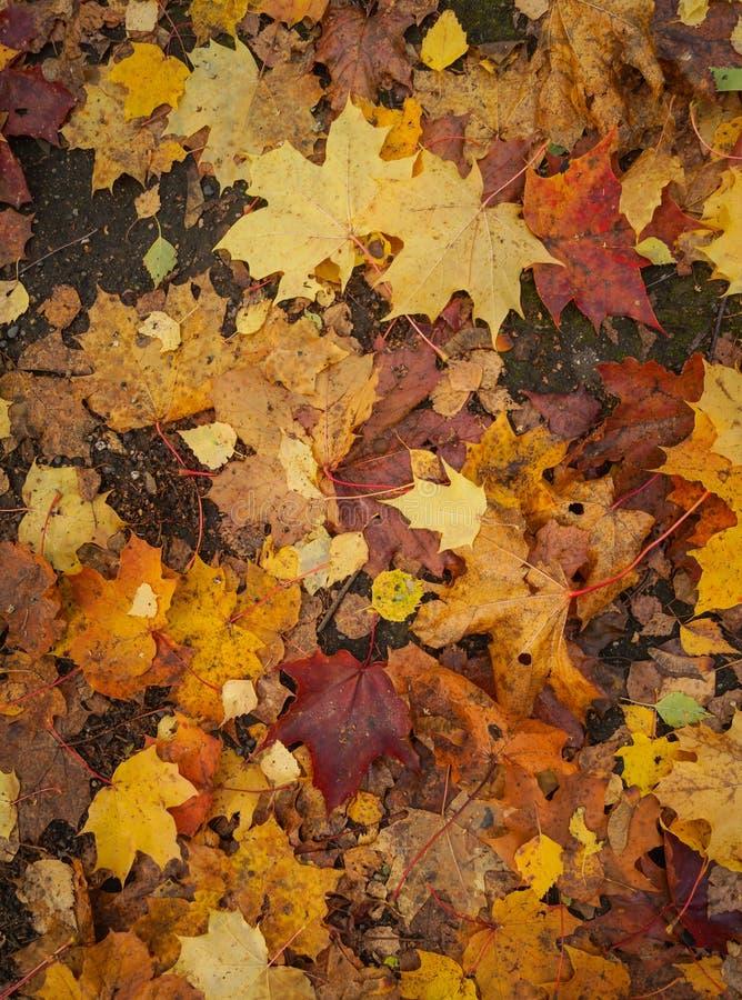 Όμορφα κίτρινα κόκκινα και πορτοκαλιά φύλλα φθινοπώρου στοκ εικόνες με δικαίωμα ελεύθερης χρήσης