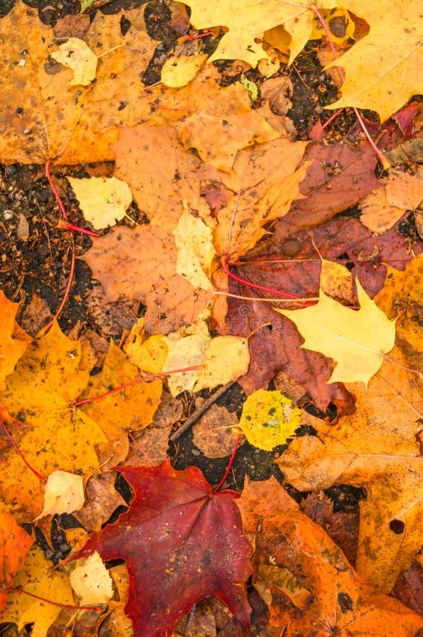Όμορφα κίτρινα κόκκινα και πορτοκαλιά φύλλα φθινοπώρου στοκ φωτογραφία
