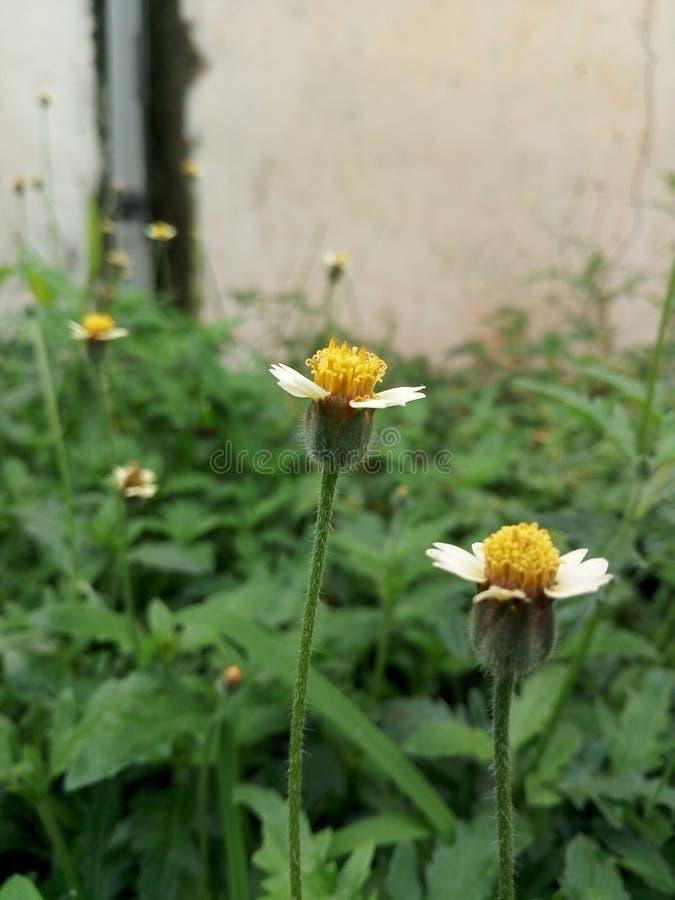 Όμορφα κίτρινα λουλούδια στη περίοδο βροχών στοκ εικόνα με δικαίωμα ελεύθερης χρήσης