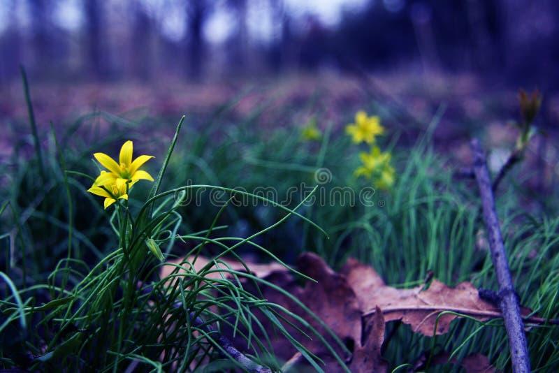 Όμορφα κίτρινα λουλούδια μεταξύ της χλόης και των φύλλων Φύση και άνοιξη Dacha, δάσος ή πάρκο στοκ εικόνα