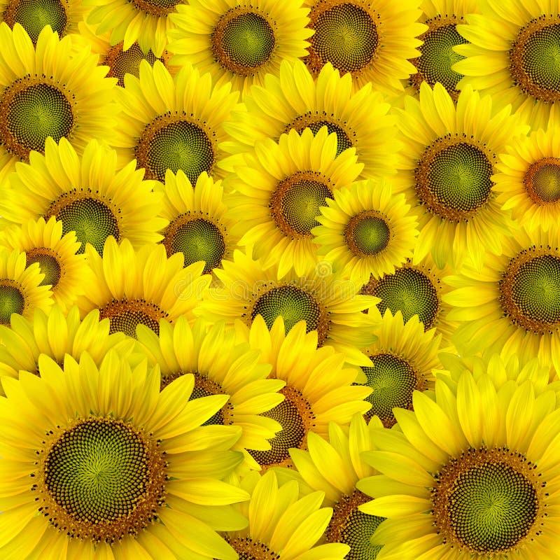 Όμορφα κίτρινα πέταλα ηλίανθων στοκ εικόνες με δικαίωμα ελεύθερης χρήσης