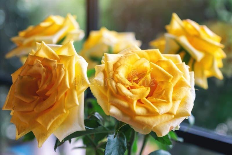 Όμορφα κίτρινα τριαντάφυλλα στοκ εικόνα