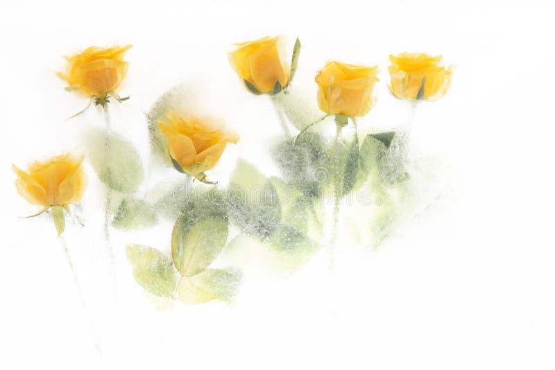 Όμορφα κίτρινα τριαντάφυλλα που παγώνουν στο misty πάγο στοκ φωτογραφία με δικαίωμα ελεύθερης χρήσης