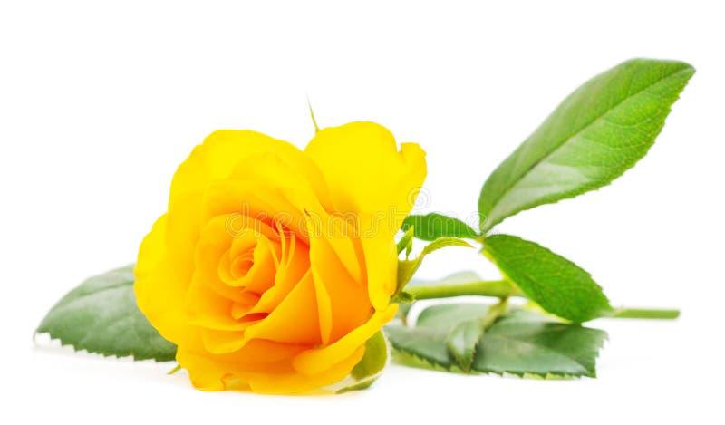 Όμορφα κίτρινα τριαντάφυλλα στοκ εικόνες