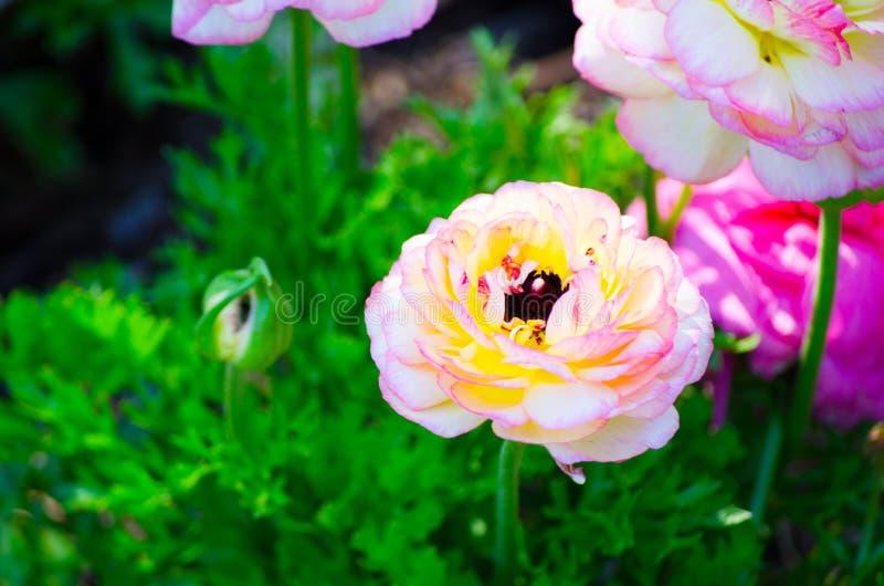 Όμορφα καλά μικτά λουλούδια βατραχίων ή νεραγκουλών χρώματος άσπρα και ρόδινα που απομονώνονται στο μαύρο υπόβαθρο στοκ εικόνες