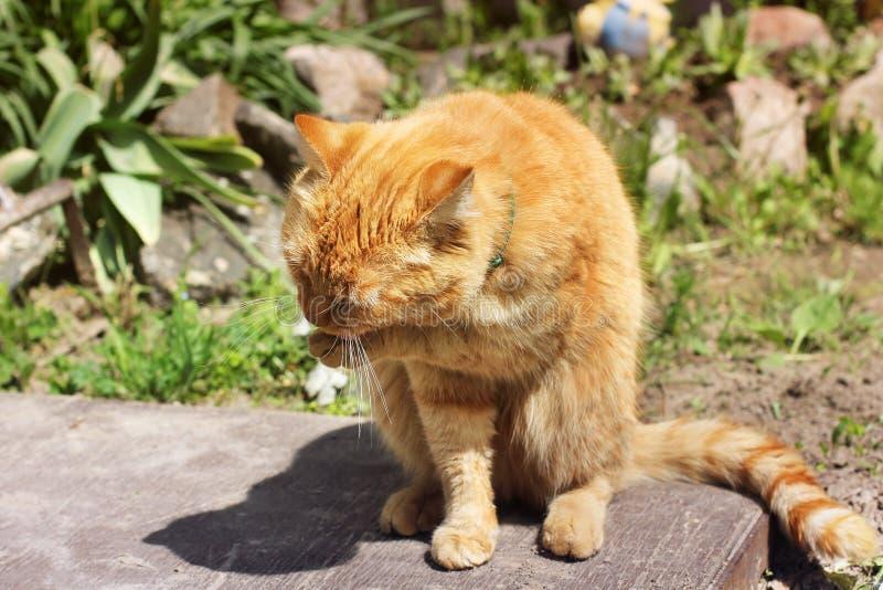 Όμορφα κόκκινα γλειψίματα γατών στην οδό στοκ εικόνες