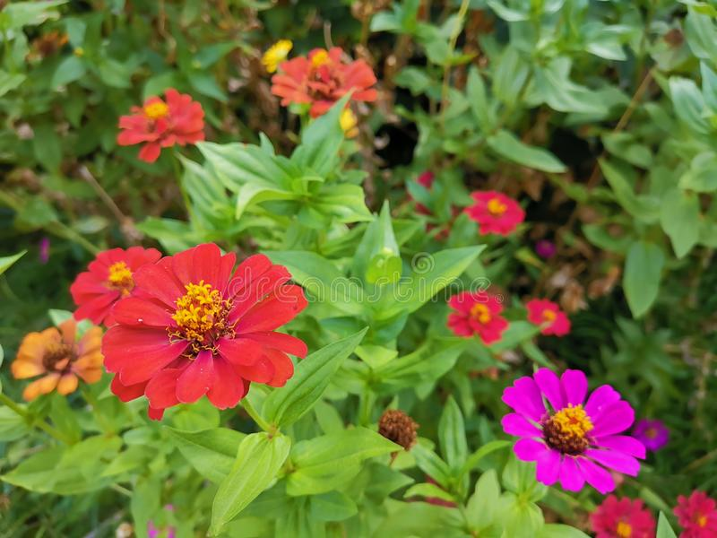 Όμορφα κόκκινα και ρόδινα zinnias στον κήπο στοκ φωτογραφία με δικαίωμα ελεύθερης χρήσης