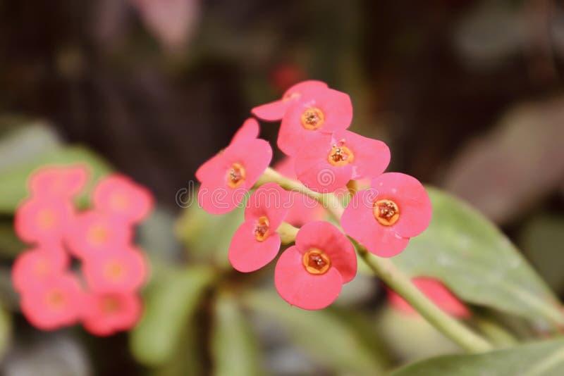 όμορφα κόκκινα πορτοκαλιά ανθίζοντας λουλούδια ανάπτυξης λουλουδιών άγρια στοκ εικόνες