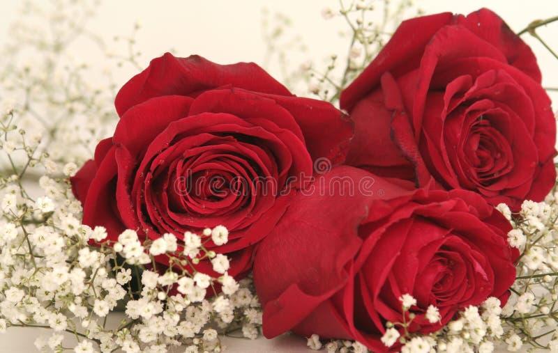 όμορφα κόκκινα τριαντάφυλλα τρία στοκ φωτογραφία με δικαίωμα ελεύθερης χρήσης