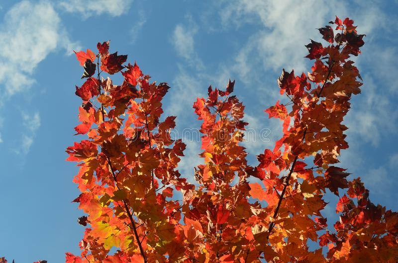 Όμορφα κόκκινα φύλλα ενάντια σε έναν μπλε ουρανό στη Νέα Αγγλία στοκ φωτογραφίες