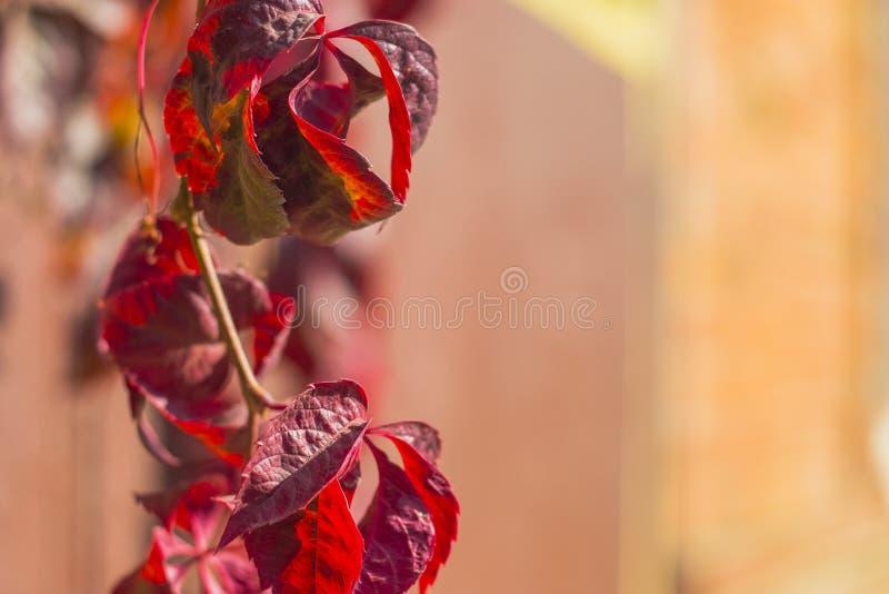 Όμορφα κόκκινα φύλλα φθινοπώρου των άγριων σταφυλιών στοκ φωτογραφίες