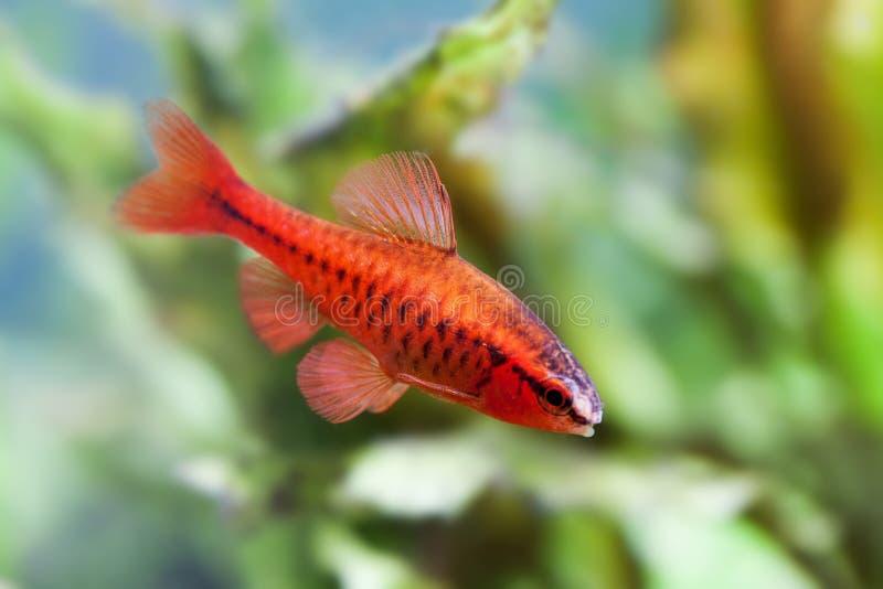 Όμορφα κόκκινα ψάρια στο μαλακό υπόβαθρο πράσινων εγκαταστάσεων Αρσενικό barb που κολυμπά την τροπική του γλυκού νερού δεξαμενή ε στοκ εικόνα με δικαίωμα ελεύθερης χρήσης