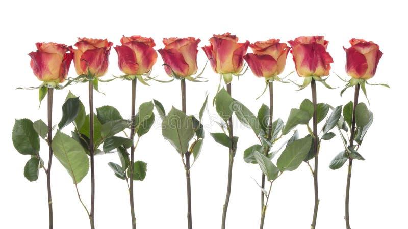 Όμορφα κόκκινος-πορτοκαλιά τριαντάφυλλα στοκ εικόνες με δικαίωμα ελεύθερης χρήσης