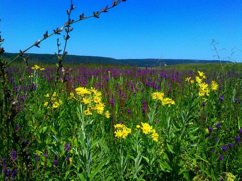 όμορφα λουλουδιών ρωσικά τομέων τομέων λουλούδια τομέων χλοών Ural λιβαδιών λιβαδιών ανθίζοντας στοκ εικόνες