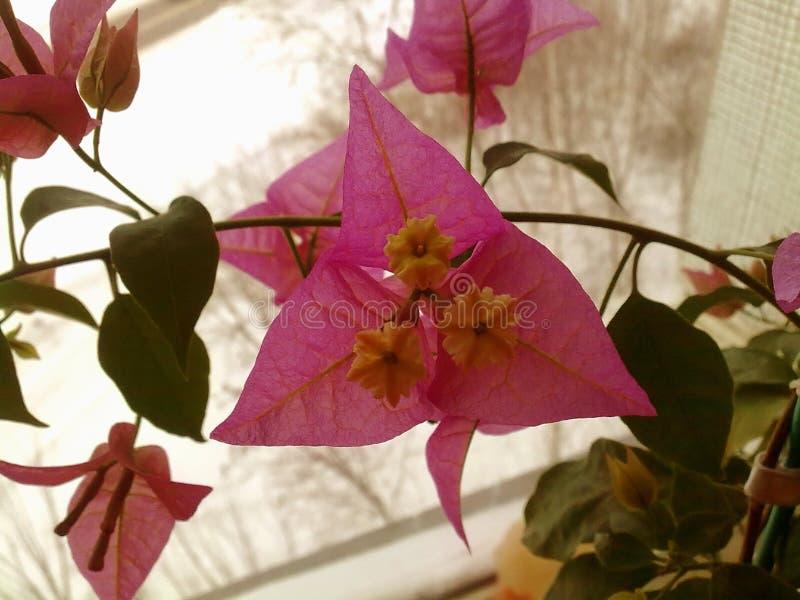 Όμορφα λουλουδιών τομέων λουλούδια τομέων χλοών Ural λιβαδιών λιβαδιών ανθίζοντας στοκ φωτογραφία με δικαίωμα ελεύθερης χρήσης