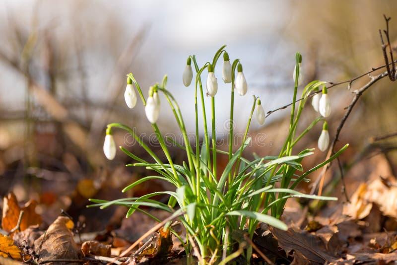 Όμορφα λουλούδια άνοιξη στο δασικό Snowdrop στοκ εικόνα με δικαίωμα ελεύθερης χρήσης