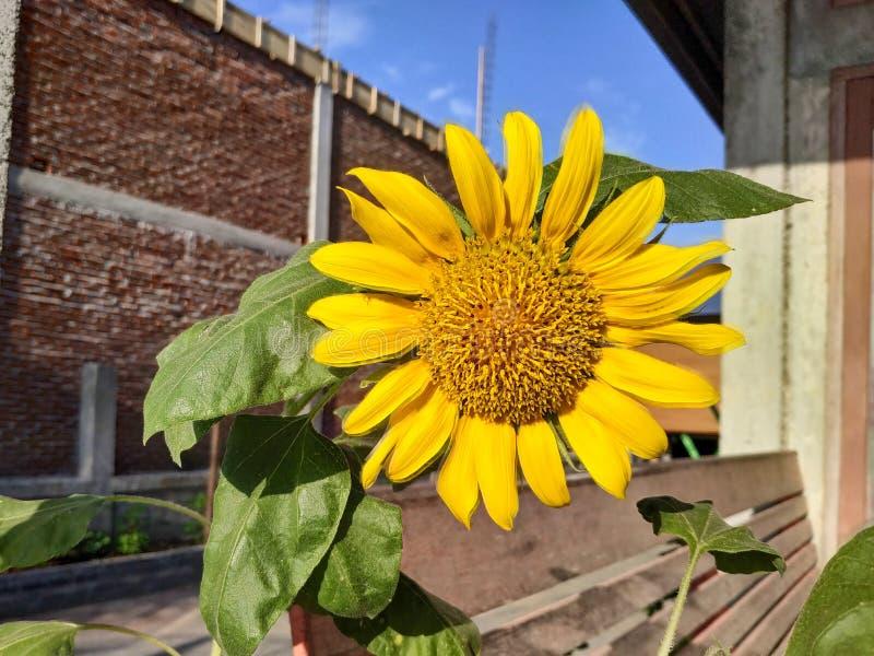 Όμορφα λουλούδια ήλιων στοκ εικόνες