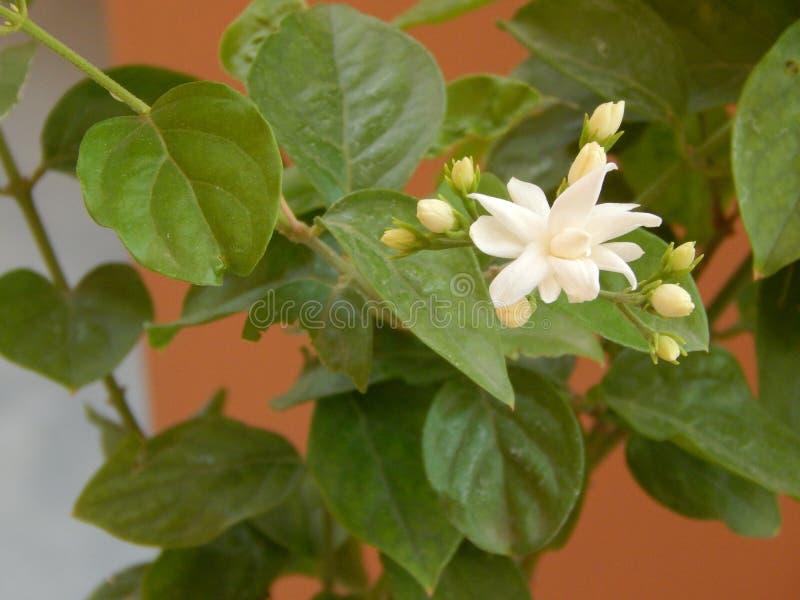 Όμορφα λουλούδια και φύλλα της Jasmine στοκ φωτογραφία