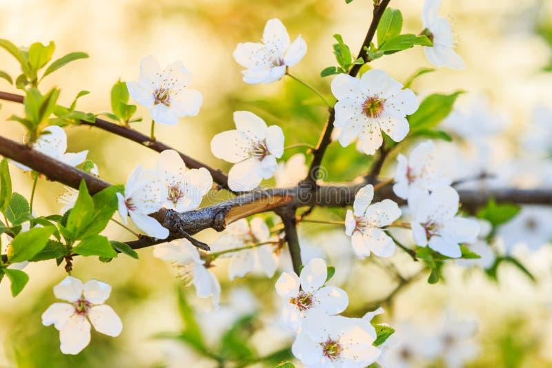 Όμορφα λουλούδια κερασιών στην ανατολή στις θερμές ακτίνες στοκ εικόνες