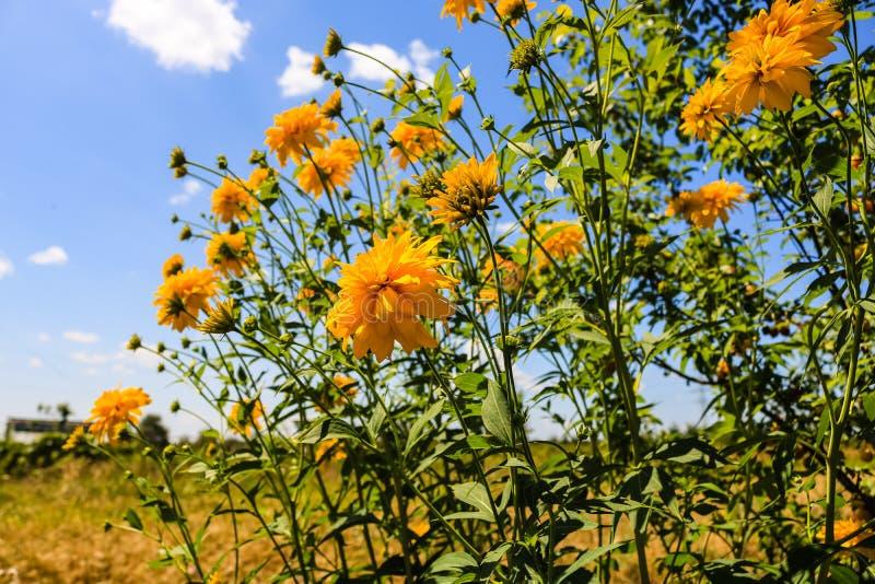 Όμορφα λουλούδια μαργαριτών Κίτρινα λουλούδια κάτω από το μπλε ουρανό στοκ εικόνες