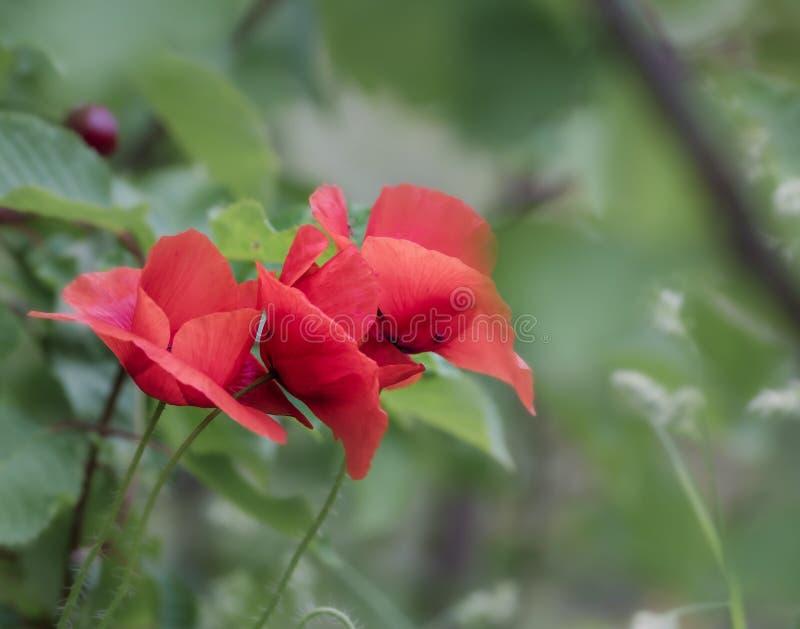 Όμορφα λουλούδια παπαρουνών με το θολωμένο υπόβαθρο φύσης στοκ φωτογραφία