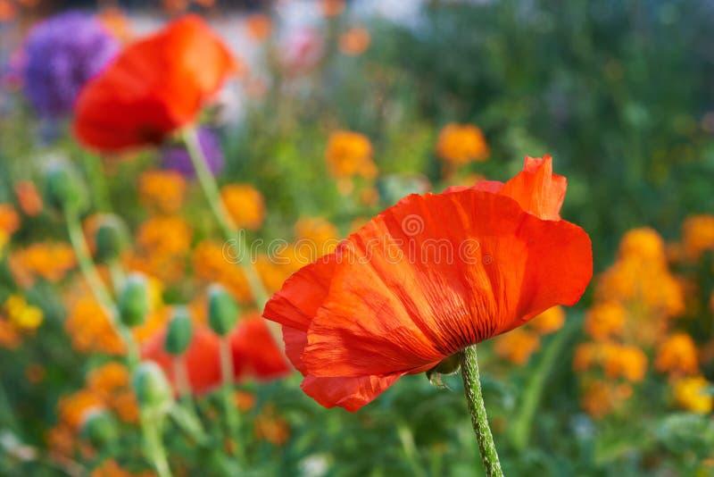 Όμορφα λουλούδια παπαρουνών στον κήπο στοκ φωτογραφίες
