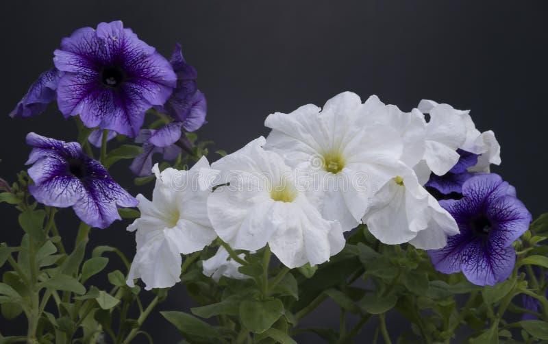 Όμορφα λουλούδια πετουνιών σε ένα δοχείο σε ένα σκοτεινό κλίμα στοκ εικόνες με δικαίωμα ελεύθερης χρήσης