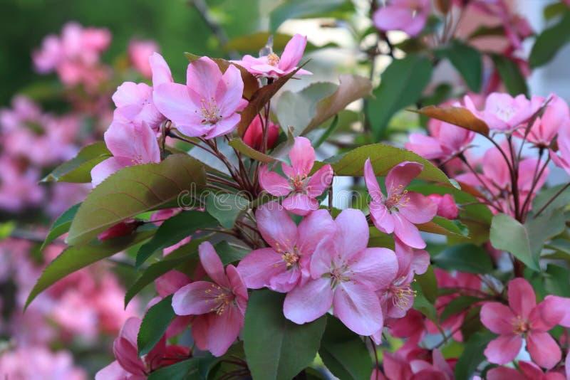 Όμορφα λουλούδια του ρόδινου μήλου χρώματος που ανθίζουν την άνοιξη στοκ εικόνες