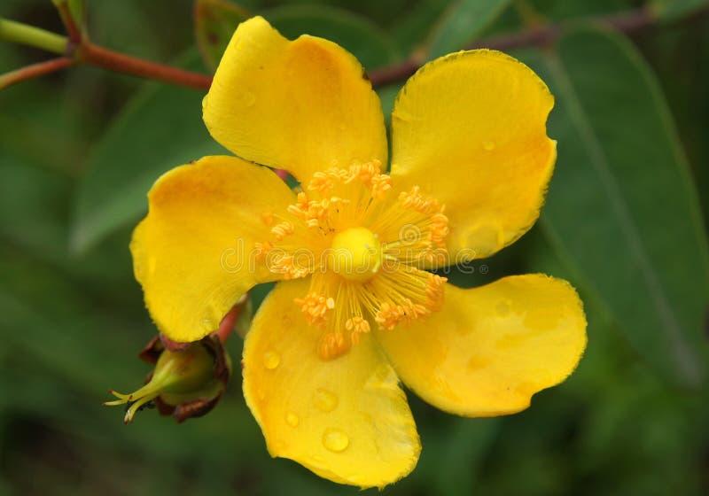 Όμορφα λουλούδια του hookerianum Hypericum στοκ φωτογραφίες με δικαίωμα ελεύθερης χρήσης