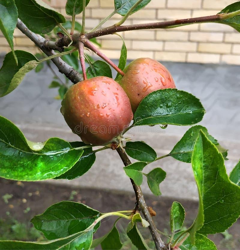 Όμορφα μήλα το πρωί στοκ φωτογραφίες με δικαίωμα ελεύθερης χρήσης