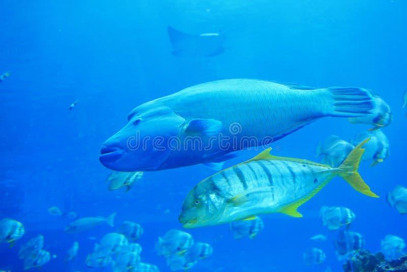 όμορφα μεγάλα ψάρια τροπικ στοκ εικόνα με δικαίωμα ελεύθερης χρήσης