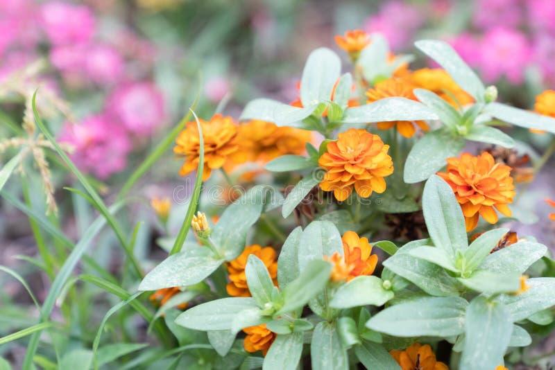 Όμορφα μικρά πορτοκαλιά λουλούδια στοκ φωτογραφίες με δικαίωμα ελεύθερης χρήσης