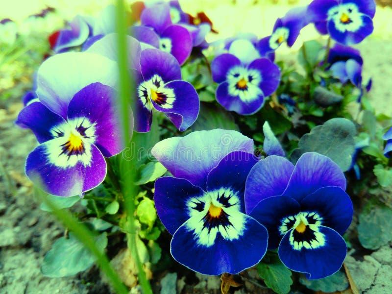 Όμορφα μικροσκοπικά λουλούδια του tricolor viola στοκ εικόνες με δικαίωμα ελεύθερης χρήσης