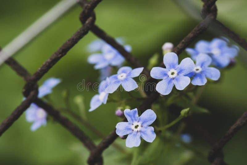 Όμορφα, μπλε, ευώδη λουλούδια του macrophylla Brunnera ή του nebozhodniki και της παλαιάς, σκουριασμένης αλυσίδα-σύνδεσης φρακτών στοκ φωτογραφία